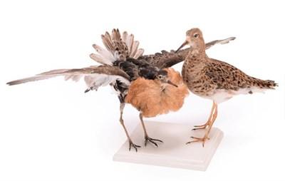 Lot 40 - Taxidermy: A Pair of Ruffs (Philomachus pugnax), circa mid-late 20th century, a pair of full...