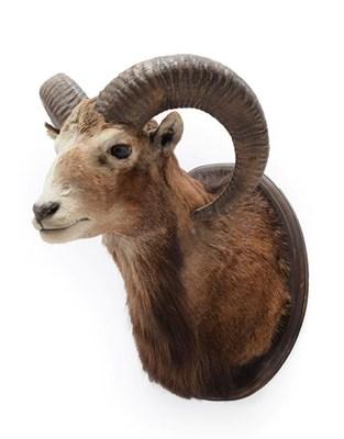 Lot 43 - Taxidermy: European Mouflon (Ovis aries musimon), circa late 20th century, adult ram shoulder mount