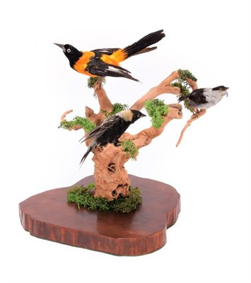 Lot 46 - Taxidermy: A Group of Late Victorian North and South American Birds, comprising a White-Bearded...