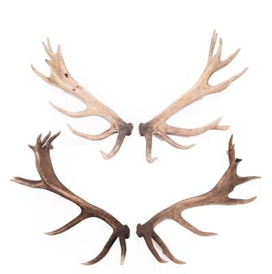 Lot 50 - Antlers/Horns: Two Pairs of Cast European Red Deer Antlers (Cervus elaphus hippelaphus), circa late