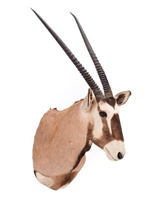 Lot 52 - Taxidermy: Gemsbok Oryx (Gazella gazella), dated 2002, Osonjiva, Namibia, high quality adult...