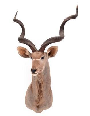 Lot 53 - Taxidermy: Cape Greater Kudu (Strepsiceros strepsiceros), dated 2002, Osonjiva, Namibia, South West