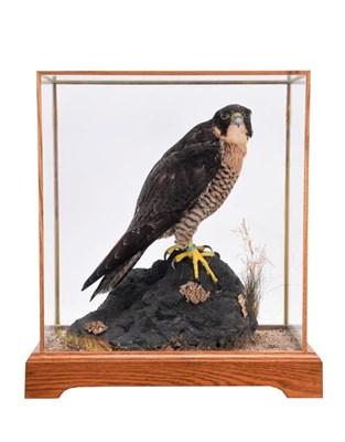 Lot 54 - Taxidermy: A Cased Peregrine Falcon (Falco peregrinus), captive bred, circa 2015, by Dave Spatcher