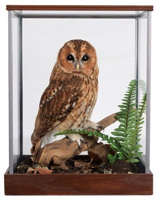 Lot 56 - Taxidermy: A Cased Tawny Owl (Strix aluco), circa 2011, by Dave Hornbrook, Taxidermy,...