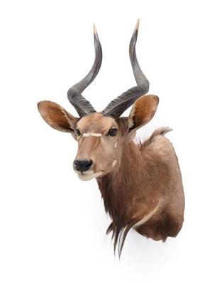 Lot 57 - Taxidermy: Lowland Nyala (Nyala angasii), circa late 20th century, South Africa, adult male...