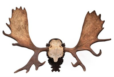 Lot 58 - Antlers/Horns: A Large Set of European Moose Antlers (Alces alces), circa late 20th century, a...