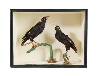 Lot 59 - Taxidermy: A Cased Pair of Common Hill Myna Birds (Gracula religiosa), circa 1880-1900, in the...