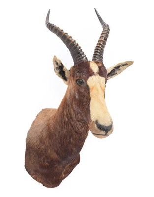 Lot 60 - Taxidermy: Blesbok (Damaliscus pygargus phillipsi), dated 03rd March 1991, by Nico van Rooyen...