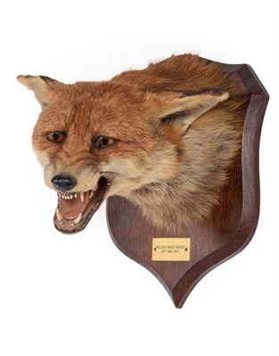 Lot 67 - Taxidermy: Red Fox Mask (Vulpes vulpes), dated 10th October,1931, by Peter Spicer & Sons,...