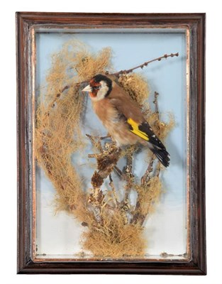 Lot 71 - Taxidermy: A Wall Cased European Gold Finch (Carduelis carduelis), circa late 20th century, by H.R.