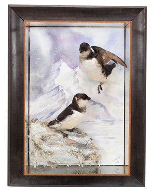 Lot 77 - Taxidermy: A Wall Cased Pair of Little Auks (Alle alle), modern, by A.J. Armitstead,...