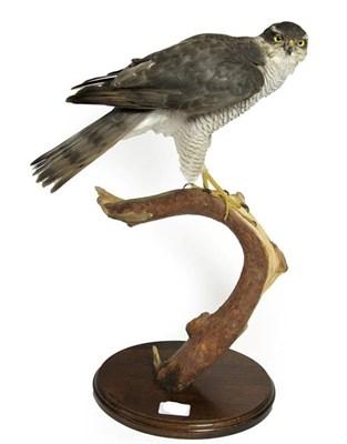 Lot 78 - Taxidermy: Eurasian Sparrowhawk (Accipiter nisus), circa 1998, by Brian Lancaster, Taxidermy,...
