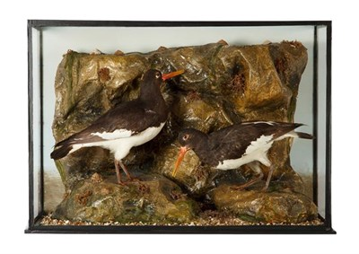 Lot 81 - Taxidermy: A Late Victorian Cased Pair of Eurasian Oystercatchers (Haematopus ostralegus), in...