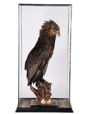 Lot 83 - Taxidermy: A Large Cased Bateleur Eagle (Terathopius ecaudatus), circa 2004, by Peter...
