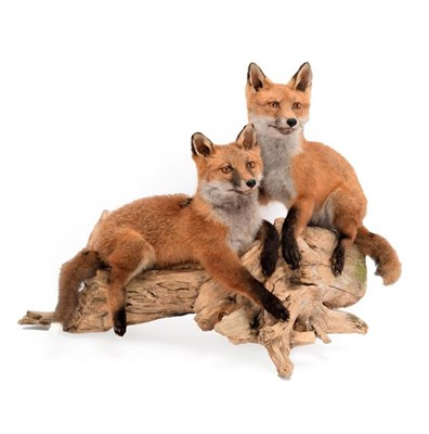 Lot 84 - Taxidermy: A Pair of Red Fox Cubs (Vulpes vulpes), modern, by Brian Lancaster, Taxidermy,...