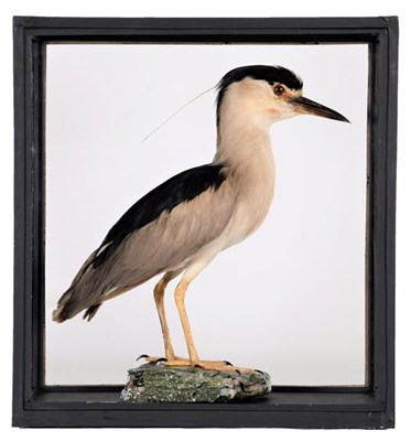 Lot 86 - Taxidermy: A Cased Black-Crowned Night Heron (Nycticorax nycticorax), circa late 20th century,...