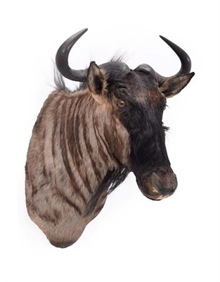 Lot 89 - Taxidermy: Blue Wildebeest (Connochaetes taurinus), modern, South Africa, high quality adult...