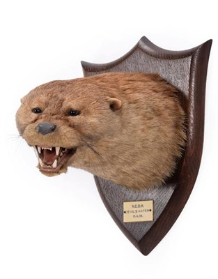 Lot 90 - Taxidermy: A Eurasian Otter Mask (Lutra lutra), dated 15th 06th 1938, by Peter Spicer & Sons,...