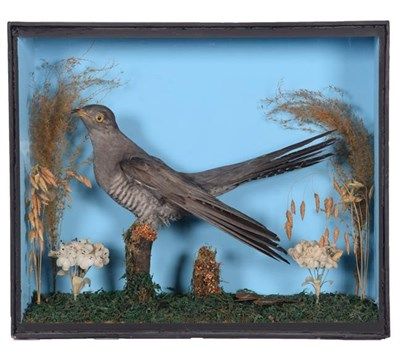 Lot 91 - Taxidermy: A Cased Common Cuckoo (Cuculus canorus), circa mid-20th century, a full mount adult...