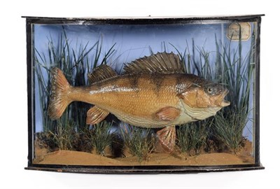 Lot 92 - Taxidermy: A Cased Perch (Perca fluviatilis), dated 1905, a skin mount preserved and mounted in...
