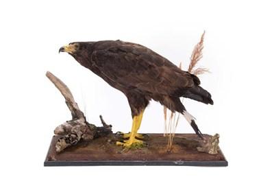 Lot 93 - Taxidermy: Harris Hawk (Parabuteo unicinctus), circa late 20th century, a full mount adult...