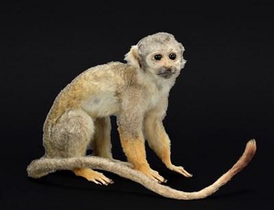 Lot 94 - Taxidermy: A Common Squirrel Monkey (Saimiri sciureus ), circa 1960, a full mount adult in...