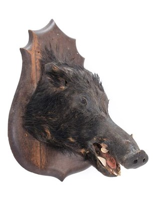 Lot 96 - Taxidermy: A Late Victorian French European Wild Boar (Sus scrofa), an adult head mount looking...
